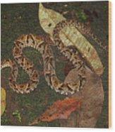 Fer-de-lance, Bothrops Asper Wood Print