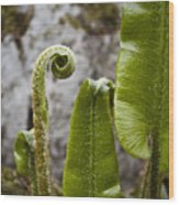 Fern Study At Blarney Castle Ireland Wood Print