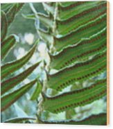 Ferns Art Prints Green Forest Fern Sunlit Giclee Baslee Troutman Wood Print