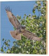 Young Hawk Soaring Wood Print