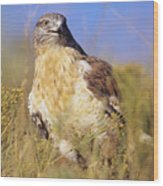 Feruginous Hawk Wood Print