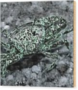 Fiddler Crab - Photosbydm Wood Print