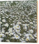 Field Dasies Wood Print