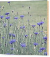 Field Of Bachelor Buttons Wood Print