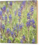 Field Of Blue Lupines  Wood Print