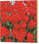 Field Of Brilliant Red Tulip Flowers In A Garden Wood Print