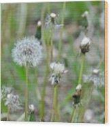 Dandelions In Seed Wood Print