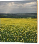 Field Of Gold Sherbrooke Quebec Canada Wood Print