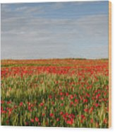 Field Of Red Poppy Anemones Late In Spring  Wood Print