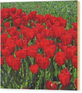 Field Of Red Tulips Wood Print