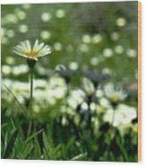 Field Of White Daisies Wood Print