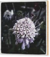 Field Scabious. A Member Of The Wood Print