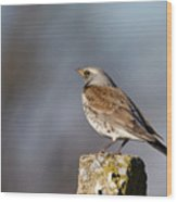 Fieldfare Watching  Wood Print by Cliff Norton
