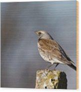 Fieldfare Watching  Wood Print by Cliff  Norton