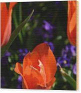 Fiery Colored Tulips Wood Print