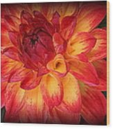 Fiery Red And Yellow Dahlia Wood Print