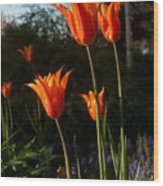 Fiery Tulips Wood Print
