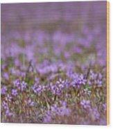 Filaree Storksbill Erodium Cicutarium Wood Print