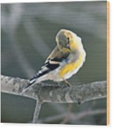 Finch Courtsy Wood Print