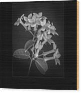 Fine Art Framed Study Of Estephanotis- Wood Print