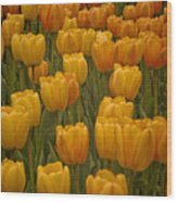 Fine Lines In Yellow Tulips Wood Print