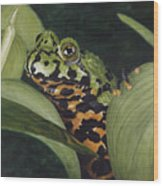 Fire Belly Toad Wood Print