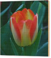 Fire Tulip Wood Print
