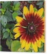Firecracker Sunflower Wood Print