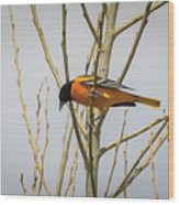 First Baltimore Oriole Of The Year  Wood Print