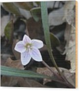First Flower Of Spring Wood Print