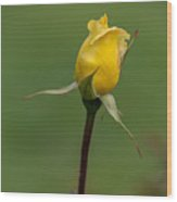First Rose Of Spring Wood Print