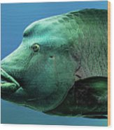 Fish Lips Wood Print