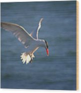 Fishing Tern Wood Print