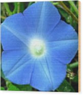 Five Point Star Morning Glory  Wood Print