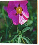 Orchid Rock Rose At Pilgrim Place In Claremont-california  Wood Print