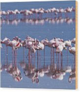 Flamingo Reflection - Lake Nakuru Wood Print