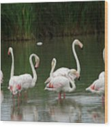 Flamingoes And Their Reflections Wood Print