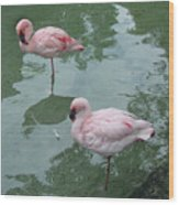 Flamingoes Posing Wood Print