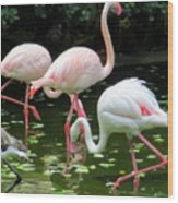 Flamingos 8 Wood Print