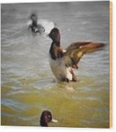 Flapping Lesser Scaup Wood Print