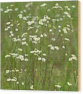 Fleabane In The Meadow Wood Print