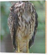 Fledgling Hawk Wood Print