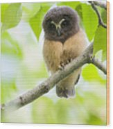 Fledgling Saw-whet Owl Wood Print by Tim Grams