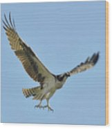 Flight Of The Osprey Wood Print