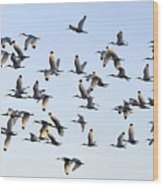 Flight Of The White Ibis Wood Print