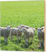 Flock Of Sheep Standing In A Field Waiting Wood Print