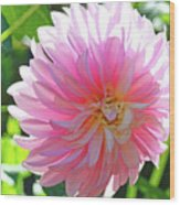 Floral Art Prints Pink Dahlias Sunlit Baslee Troutman Wood Print