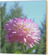 Floral Art Prints Pink White Dahlia Flower Pastel Baslee Troutman Wood Print