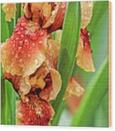 Floral Bearded Iris With Rain Drops  Wood Print