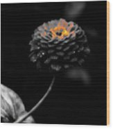 Floral October Zinnia End Of Season Sc 01 Wood Print